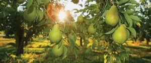 pear orchard in sun